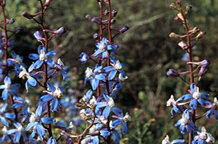 Recurved Larkspur